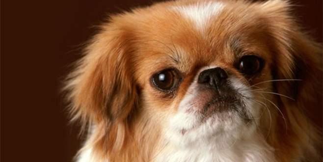 Köpek hırsızları Mudanya'ya dadandı