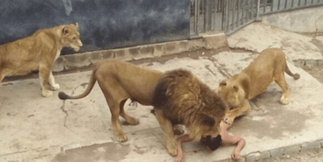 Ölmek istedi aslanların kafesine daldı