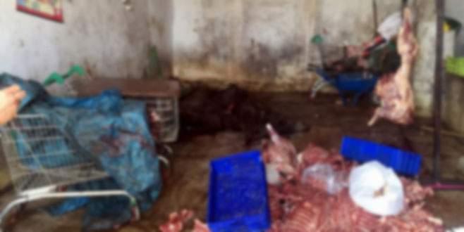 5 ton kaçak domuz eti ele geçirildi!