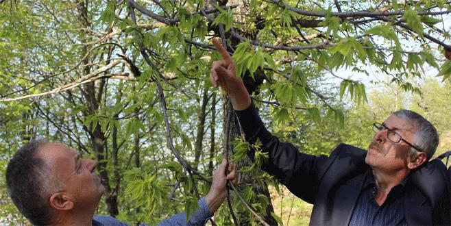 Kestane ağaçlarını kurutan katil arılara karşı mücadele