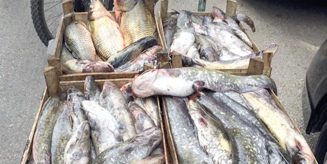 Kaçak balıklar hayvanlara yem