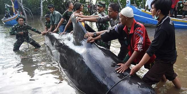 Çok sayıda balina kıyıya vurdu