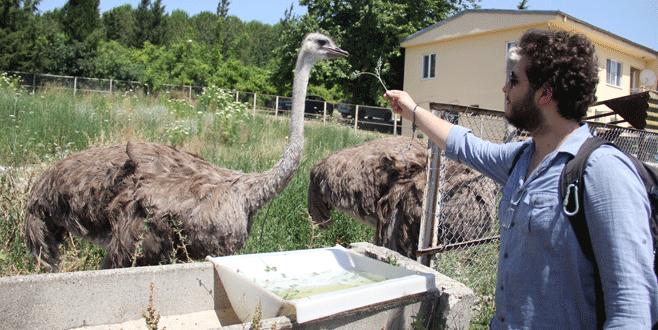 Bursa'da deve kuşu üretimi! Kırmızı ete rakip olabilir