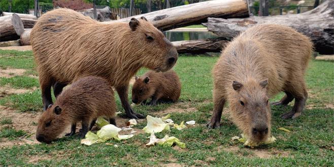 Yavru kapibaralar Bursa'yı şenlendirdi