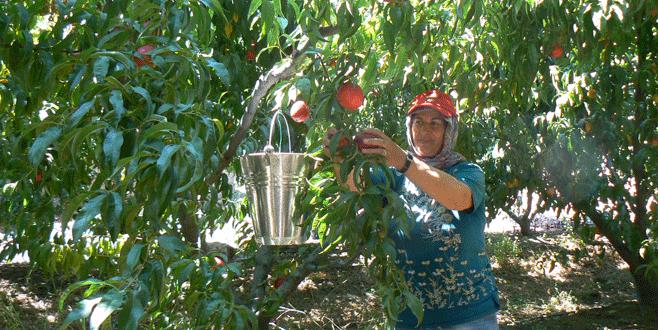 Orhangazi'de nektarin üretiminde artış var