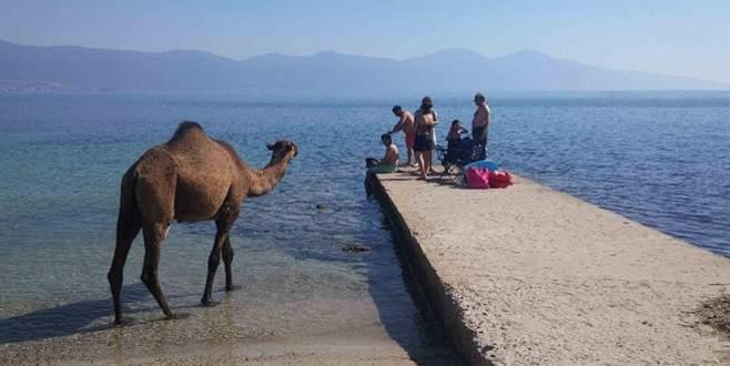 Eski çıplaklar kampı artık develere emanet
