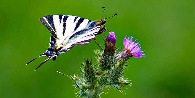 Ömrü bir günlük kelebekler fotoğraf karelerinde yaşayacak
