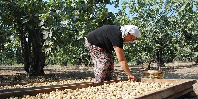 Aydın'da bu yıl en kaliteli incirin hasadı bekleniyor