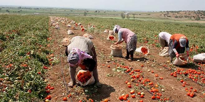 Salçalık domatesi hastalık vurdu