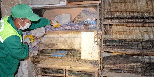 Evde civciv üretimi zabıtaya takıldı