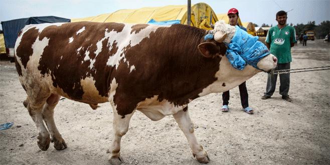 Kurbanlık pazarının 'Padişah'ı alıcısını bekliyor