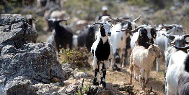 Uludağ'ın keçilerine bayram rağbeti