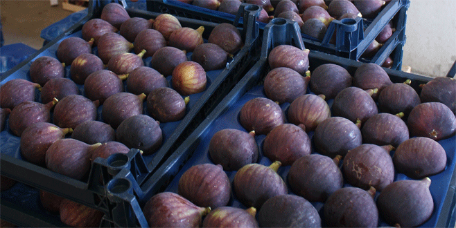 Bursa'da incir üreticisi umduğunu bulamadı