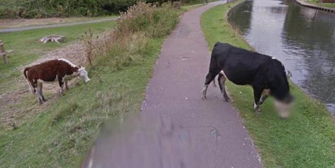 Google ineklerin yüzünü buzladı