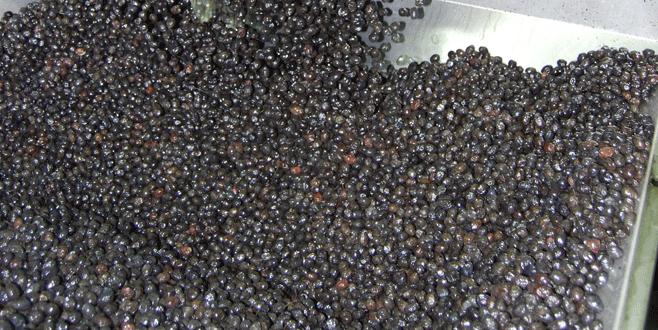 Orhangazi'de zeytinin maliyeti belirlendi