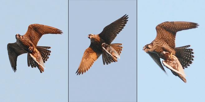 410 kilometre hızla uçan gökdoğan, güvercini böyle avladı