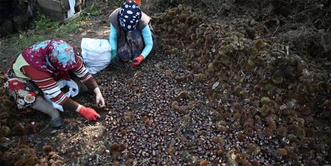 Bursa'da kestane hasadı 'kurtlu' başladı