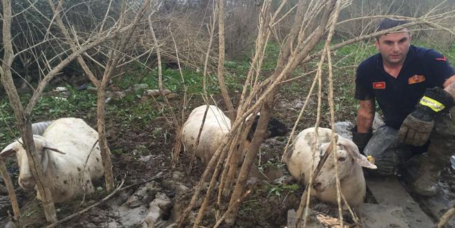 Bursa'da 50 koyun bataklığa saplanınca…