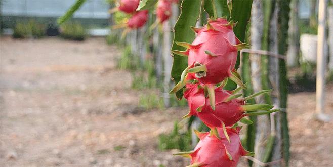 Alternatif ürün 'ejder meyvesi' çiftçiyi sevindirdi