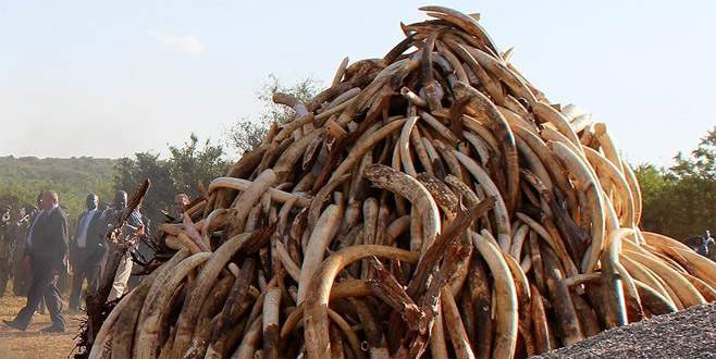Vietnam'da bir ton fil dişi ele geçirildi
