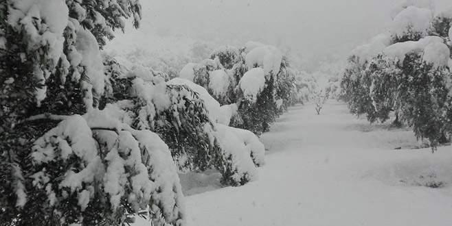 Yoğun kar zeytinlikleri olumsuz etkiledi
