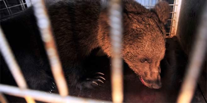 Bursa'da yavru ayılara TIR çarptı