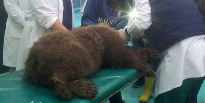 Yaralı yavru ayı hayata tutunamadı
