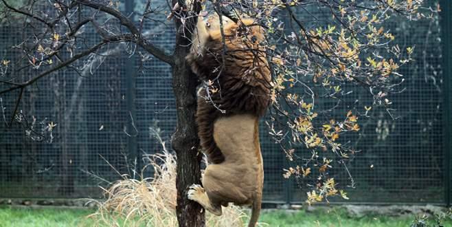 Bursa Hayvanat Bahçesi'nde aslanlar açlık testini böyle geçti