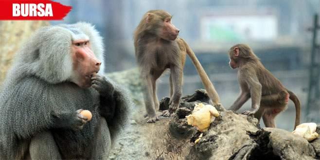Maymunların yumurta ve tavuk keyfi