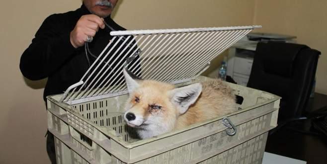 Yaralı tilki yavrusuna şefkat eli