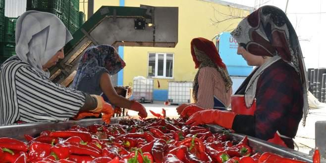 Kulaca'nın hedefi bin ton salça ihracatı