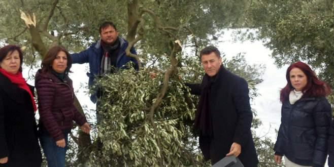 Zeytin ağaçlarındaki zararı yerinde incelediler