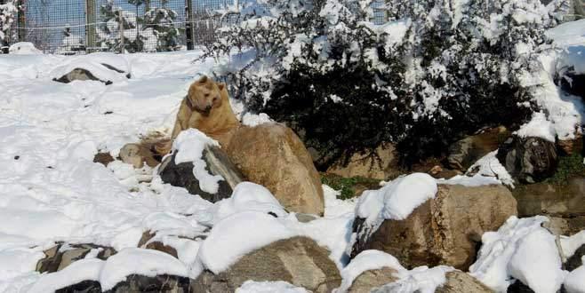 Kış uykusuna yatmayan ayıların kar keyfi
