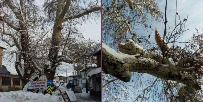 Bursa'da 750 yıllık çınarın devasa dalı kara dayanamadı
