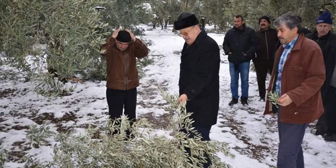 İznik'te kar yağışı zeytin ağaçlarına zarar verdi