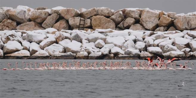 Kar ve soğuk, flamingoları da etkiledi