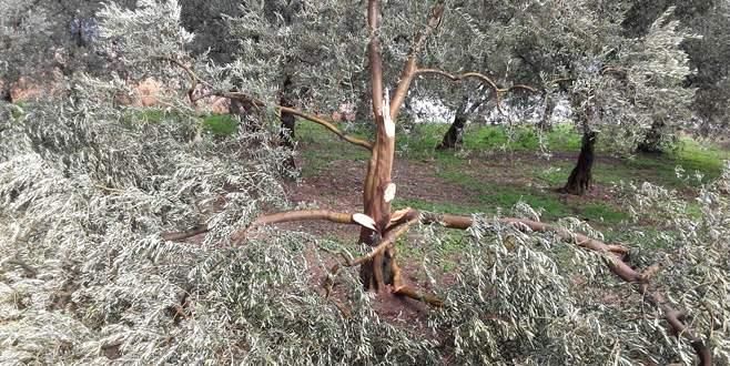 İznik'teki ağaçlarda zarar belirlendi