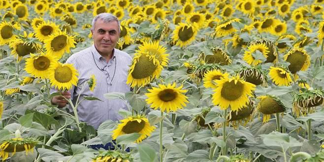 Yağlık ayçiçeği ekimi artmalı