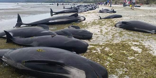 Yüzlerce balina kıyıya vurdu
