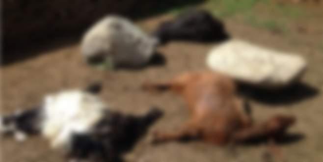 Bursa'da kurtlar keçi sürüsüne saldırdı