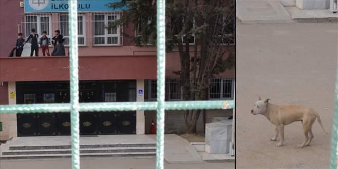 Bursa'da korku saçan pitbull barınağa teslim edildi
