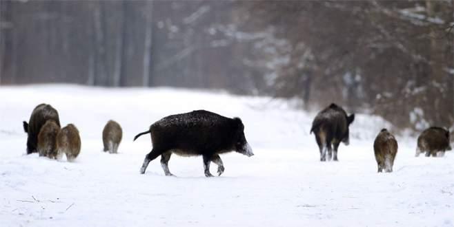 Çekya'nın radyoaktif yaban domuzları