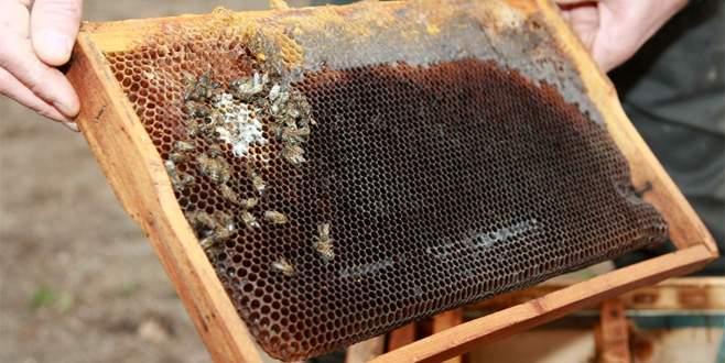 Bursa'da şok eden arı ölümleri
