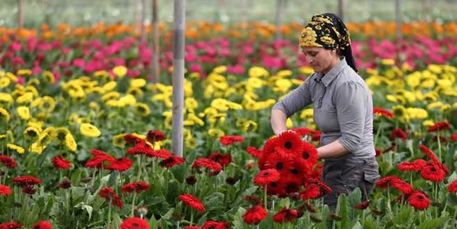 Karanfilde yasak kalktı, çiçekçi umut tazeledi