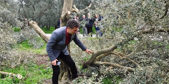 Sarıbal'dan zeytin ağacı kesimine tepki