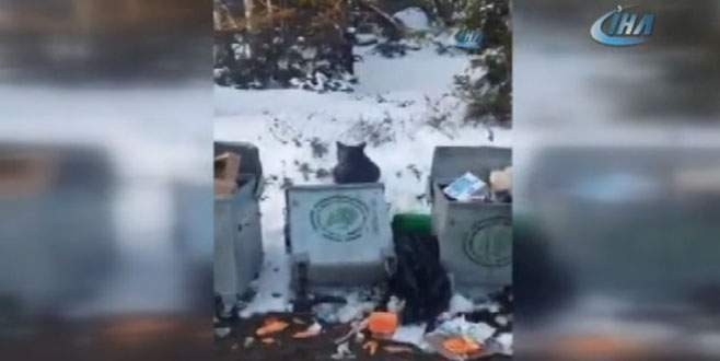 Uludağ'da aç kalan ayı çöpte böyle yiyecek aradı
