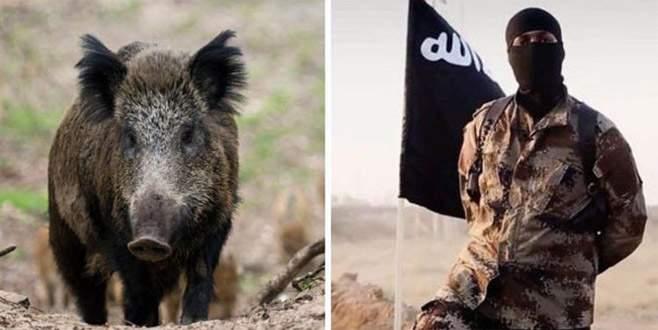 DEAŞ'a yaban domuzu saldırısı: 3 militan öldü