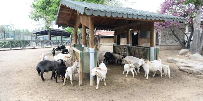 Türk köyündeki nadir koyun ve keçiler bahara hazırlandı