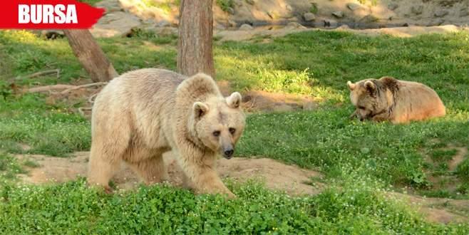 Dansçı ayıların dördü halen hayatta