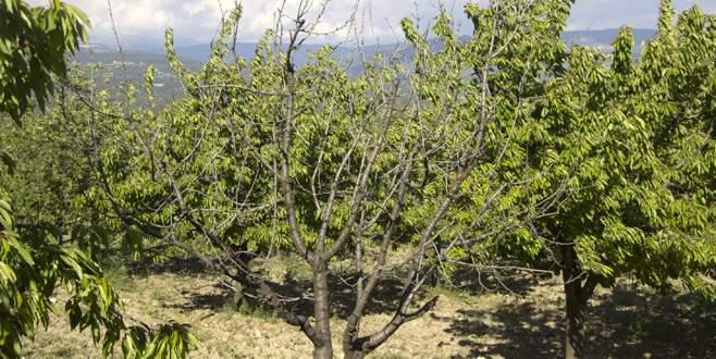 Dağda ve Kestel'de meyveyi soğuk vurdu